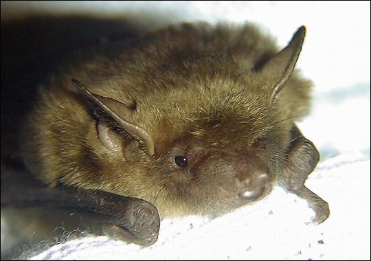 big-brown-bat
